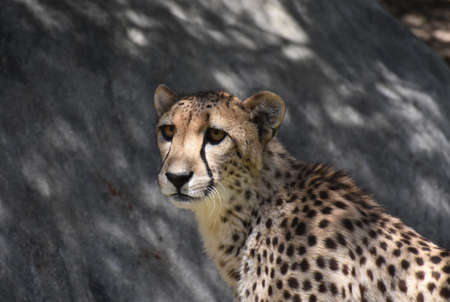 Fantastic look into the face of a cheetah cat.