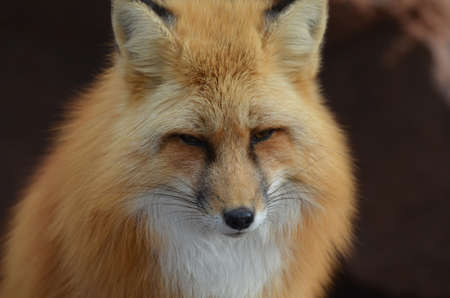 Beautiful face of a red fox up close and personal. Stock Photo