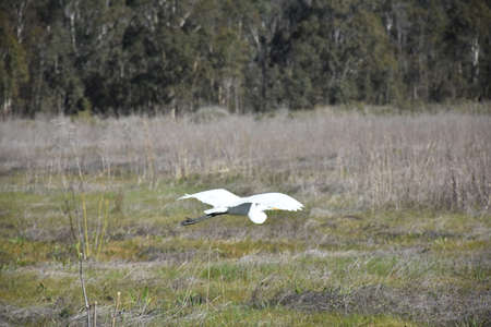 Pretty gliding great egret bird over a hay field.