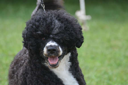 Adorable black and whtie Portuguese Water dog on a leash.