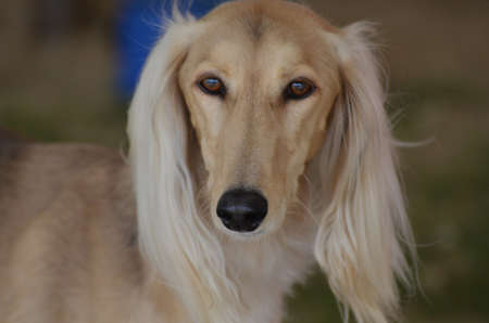 Sweet face of a blonde saluki dog. Stock Photo