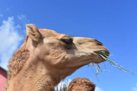 Camel eating a handful of hay on a beautiful day.