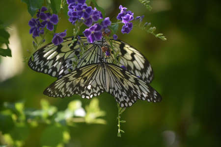 Garden with a pair of polinating white tree nymph butterflies. Stock Photo