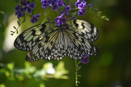 Gorgeous Tree-Nymph Butterflies with purple flowers in the background