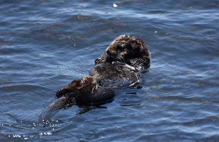 Really sweet baby sea otter rafting on his back in the ocean.