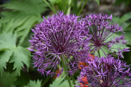 Garden with a close up look at flowering purple allium flowers.