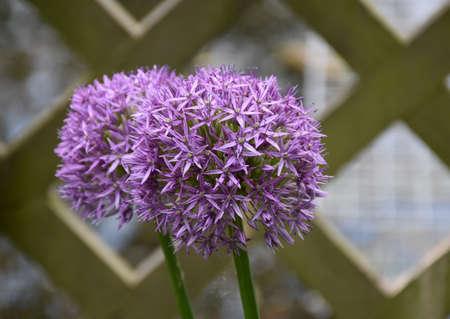 Very pretty pair of flowering purple allium flowers.