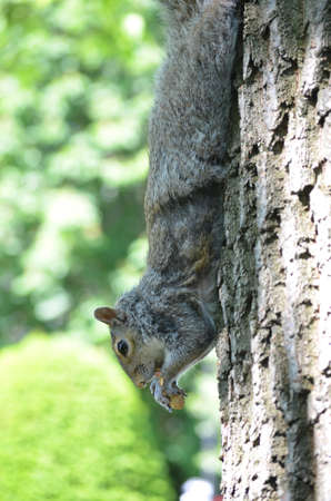 Squirrel stretched out on a long tree trunk eating a peanut.