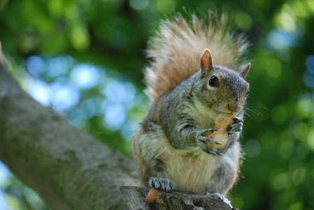 Cute squirrel sitting on a tree branch with a peanut. Stockfoto