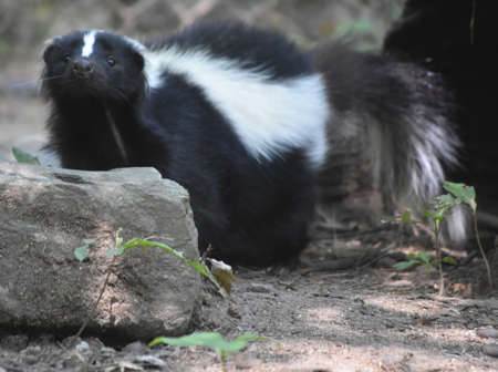 Skunk with a cute wiggling black nose.
