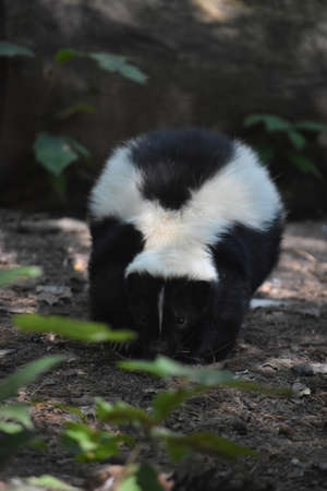 Striped black and white skunk walking along the ground. Stockfoto