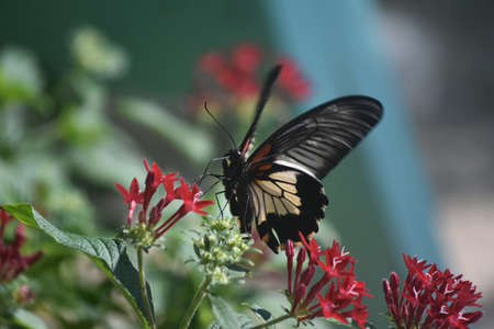 Swallowtail butterfly sitting on red flowers in a garden.