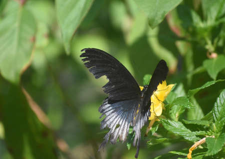 Adorable butterfly with black wings on a flower