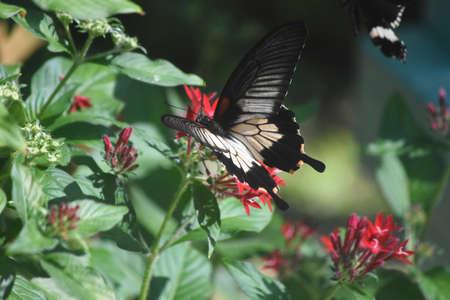 Wings open on a butterfly resting on a flower