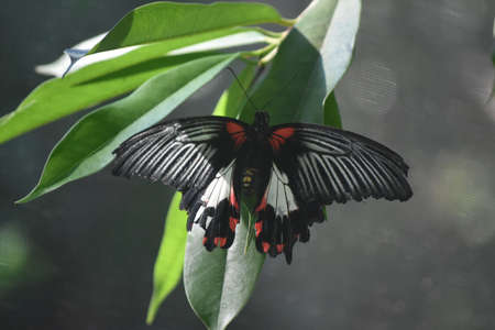 Fantastic butterfly with wings open on a leaf.