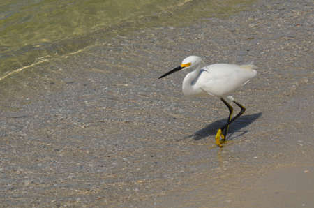 White egret bird walking in really shallow water on the beach.