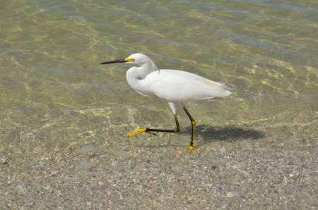 Egret walking in shallow ocean water on the beach.