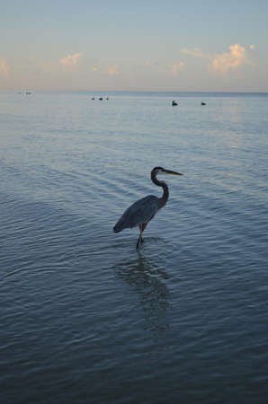 Great blue heron is wading into the shallow waters in Naple.