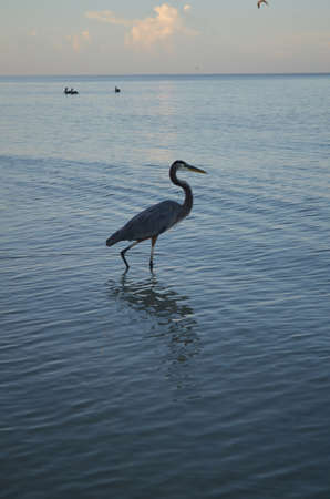 Wading great blue heron at dawn in Naples.