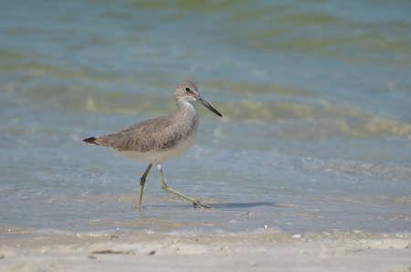 Sandpiper bird walking along a sandy beach in Naple