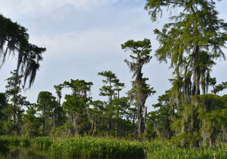 Lush green fauna thriving in the wetlands of southern Louisiana.