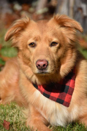 Direct look into the face of a Duck Tolling Retriever Dog.