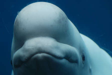 Really adorable face of a beluga whale underwater.