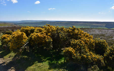 Stunning moorland landscape with pretty flowering yellow gorse bushes.