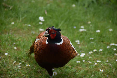 Amazing close up look into the face of a pheasant. Stock Photo