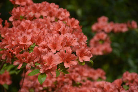 Startling red azalea flower blossoms blooming on a bush.
