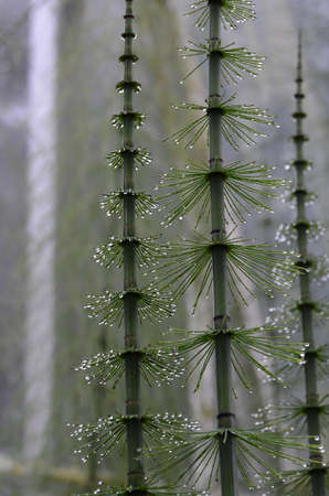 Dew drops clinging to the needles of a horsetail in a garden.