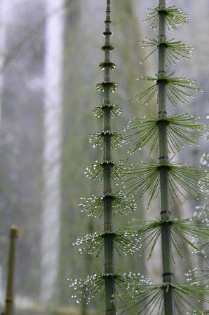 Water droplets stuck to the needles of a mare's tail. Фото со стока