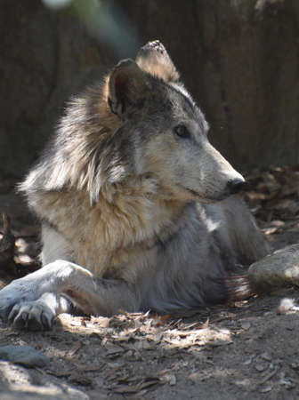 Shaggy timber wolf relaxing in a pile of leaves.