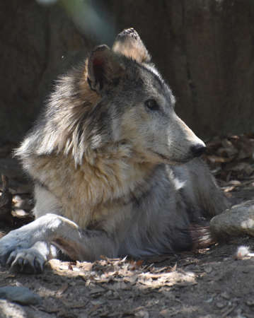 Relaxing tundra wolf resting in the woods.