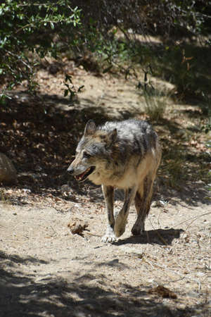 Stalking wolf on a warm sunny spring day.