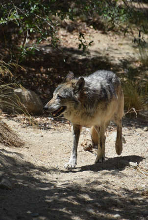Spring day with a wild tundra wolf walking along.
