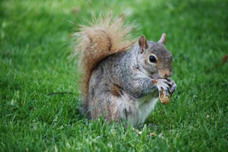 Cute squirrel eating a peanut in grassy lawn.