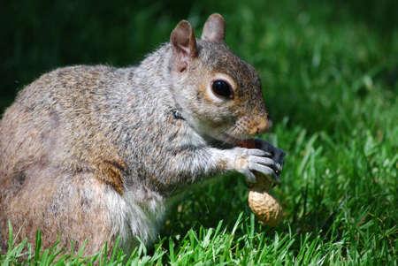 Squirrel devouring a peanut in grassy area.