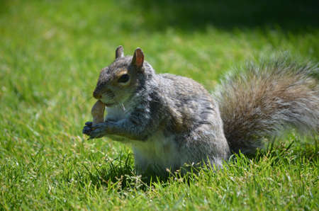 Squirrel with a peanut in lush green grassy area. Фото со стока
