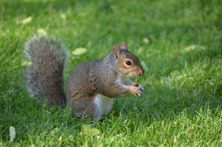 Squirrel munching on a peanut in thick green grass.