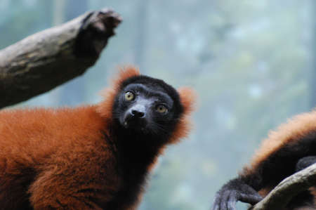 Amazing red ruffed lemur with lots of fluffy fur.