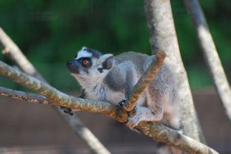 Adorable amazing face of a baby lemur sitting in a tree. Фото со стока