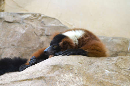 Red ruffed lemur resting on a large rocky surface.