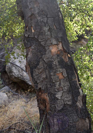 Wildfire damage on the bark of a tree in California.