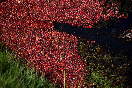 Bog with red cranberries floating in water.