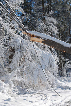 After a bizzard a large tree fell onto some electrical wires