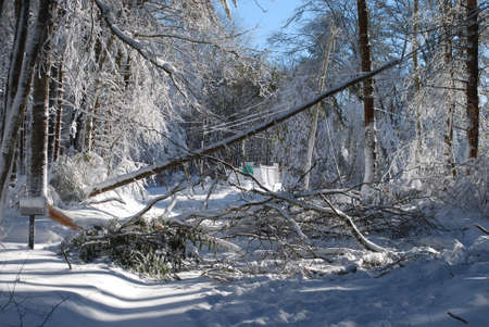 Large trees that fell down because of the winter storm  写真素材