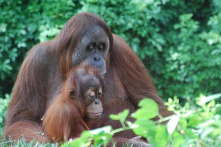 Amazing family of orangutans in the wild.
