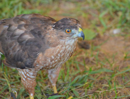 Large falcon walking on the grass  Stock fotó