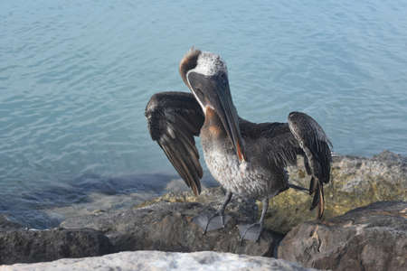 Pelican fluffing it's feathers with it's beak.